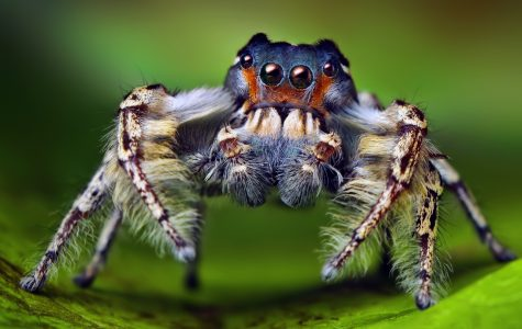 Study explores jumping spiders' color perception
