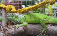 Iguana finds new home in DeVries greenhouse