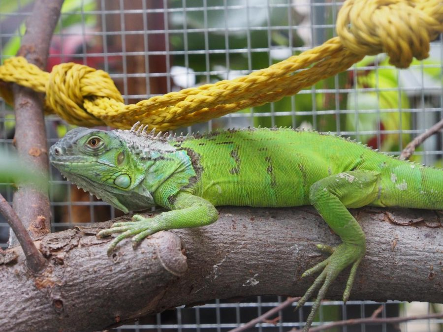 Buddy%2C+an+iguana%2C+has+a+new+home+in+the+DeVries+Hall+greenhouse.+Photo+by+Jessica+Zylstra.