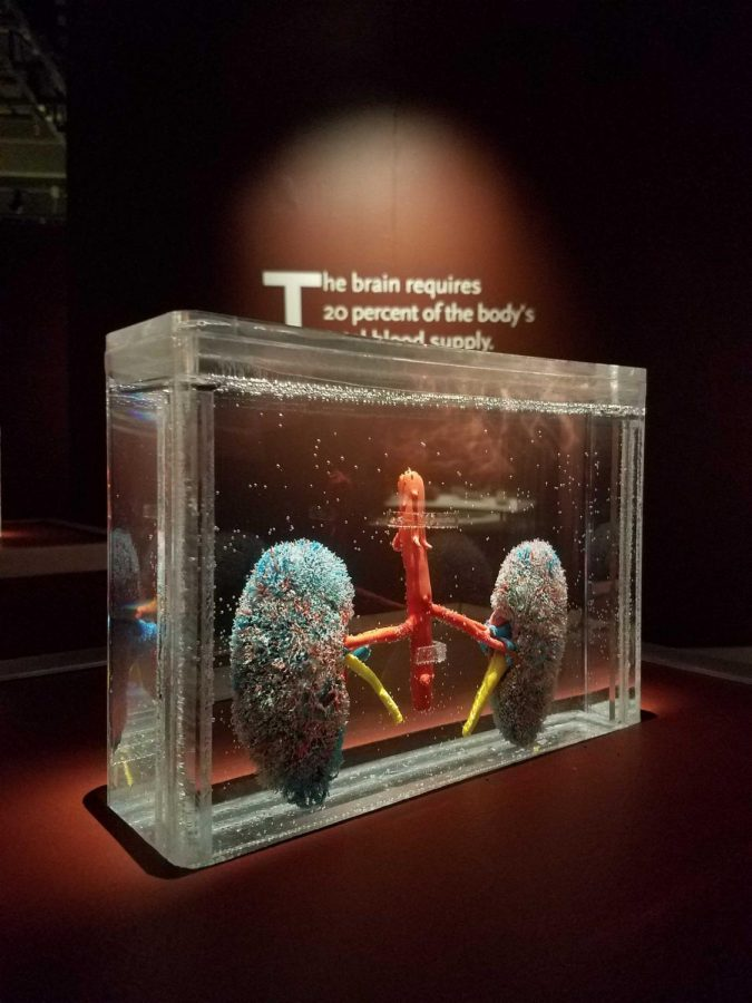Bodies Revealed museum exhibit returns after 10 years by popular demand