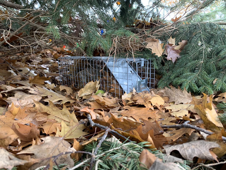Video captures squirrel caged under Calvin's pine tree.