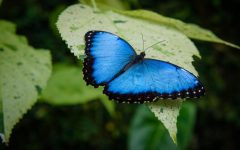 The annual Fred and Dorothy Fichter exhibit at Meijer Gardens features 7000 tropical butterflies of 60 different species.